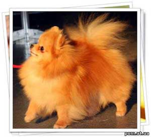 pomeranian puppies for sale in texas cheap pictures of half pomeranian pomeranian with hair cut like 4931